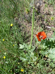 Red horned-poppy (Glaucium corniculatum)