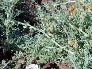 Incienso menudo or amuley (Artemesia reptant) does not have an English name. It is a miniature wormwood.