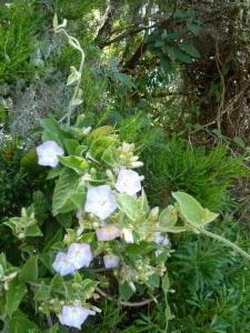 Forest bindweed (Convolvulus canariensis), a  Canary endemic which grows in the laurel forests