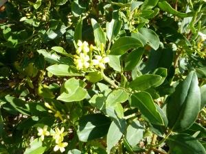 Wild Jasmine (Jasminum odoratissimum) in the Barranco Tamadaya